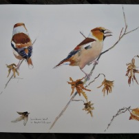 Hawfinch feeding on hornbeam, Yorkshire Arboretum. Watercolour.