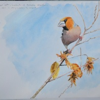 Hawfinch at Yorkshire Arboretum. Watetcolour.