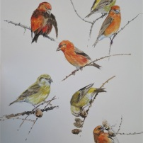 Crossbill studies. Watercolour.