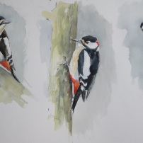 Great- spotted woodpecker studies. Watercolour.