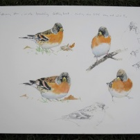 Brambling studies. Watercolour.