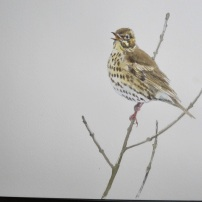 Song thrush singing. Watercolour.
