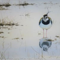 Lapwing in floodwater. Watercolour.