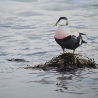Eider drake, Teeside. Watercolour.