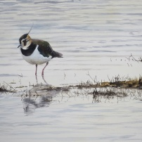 Lapwing in winter. Watercolour.